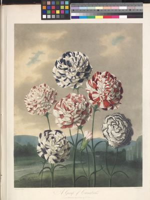 A Group of Carnations (Dianthus caryophyllus)
