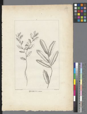 Quercus virens, uncoloured engraving on paper