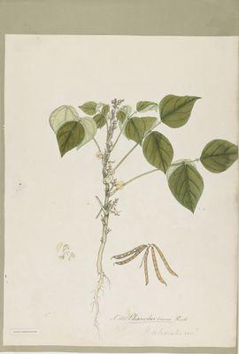 Phaseolus torosus Roxb., watercolour on paper