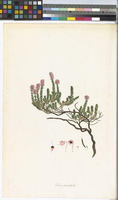 Erica spiculifolia, Bauer, Flora Graeca