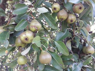 Pyrus communis subsp. caucasica