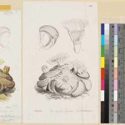 Mesembryanthemum truncatellum Haworth published illustration from Curtis's Botanical Magazine