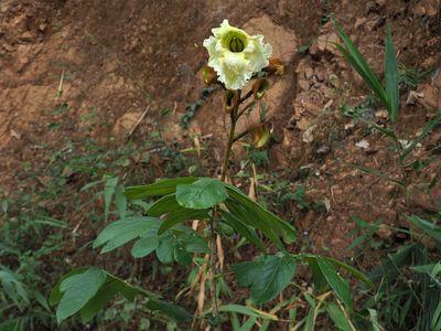 Markhamia stipulata
