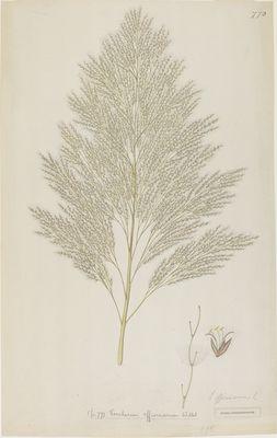 Saccharum officinarum Linn., watercolour on paper
