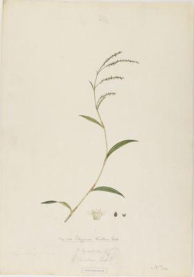 Polygonum tenellum R., watercolour on paper