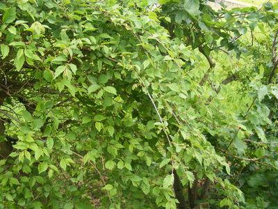 Ulmus minor 'Microphylla Pendula'
