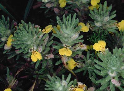 Ajuga chamaepitys subsp. chia