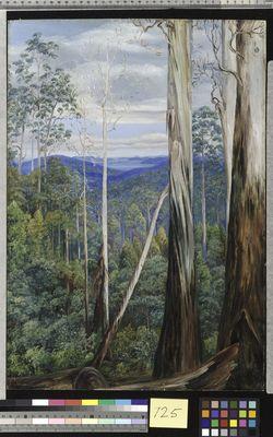 Blue Gum Trees, Silver Wattle, and Sassafrason the Huon Road, Tasmania