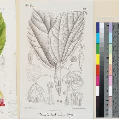 Trochetia blackburniana Bojer published illustration from Curtis's Botanical Magazine