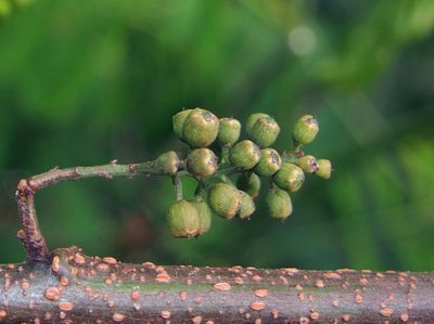 Maesa latifolia