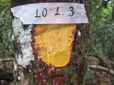 Sloanea floribunda Spruce ex Benth.