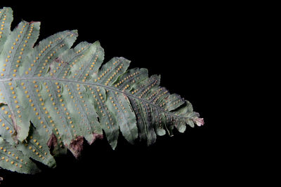 Polypodium puberulum