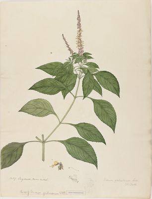 Ocymum gratissiumum Willd., watercolour on paper