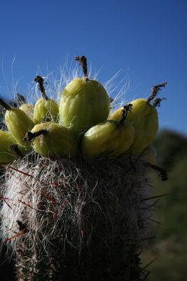Oreocereus celsianus (Salm-Dyck) Riccobono