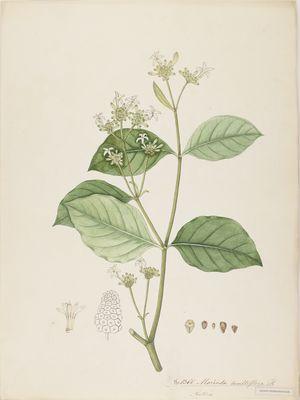 Morinda multiflora R., watercolour on paper