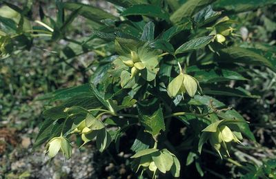 Helleborus cyclophyllus