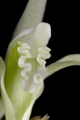 Dendrobium incurvum Lindl.