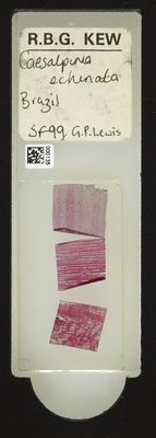 A specimen from Kew's microscope slide collection - whole slide. Image ref: KMIC000135_2016.05.04_preview
