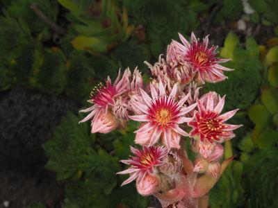 Sempervivum tectorum 'Robustum'