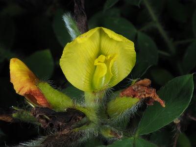 Chamaecytisus hirsutus