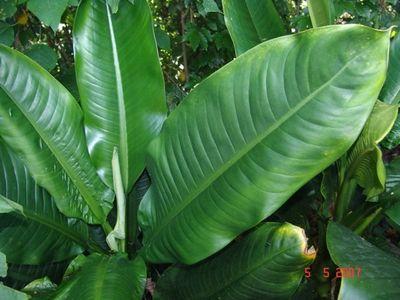 Dieffenbachia longispatha