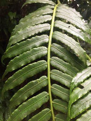 Angiopteris palmiformis