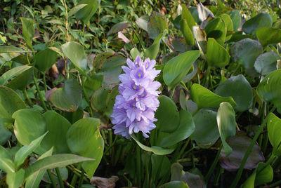 Eichhornia crassipes (Mart.) Solms