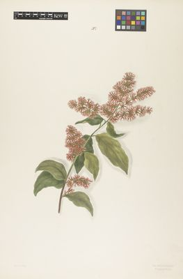 Myrtaceae: Metrosideros floribunda