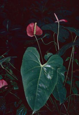 Anthurium andraeanum Linden ex André