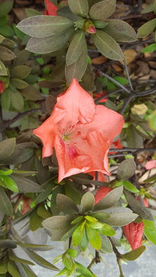 Rhododendron × pulchrum