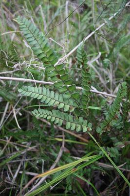 Adiantum serratodentatum Willd.