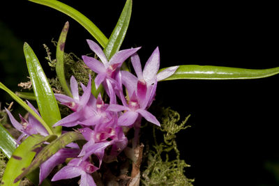 Dendrobium seranicum J.J.Sm.