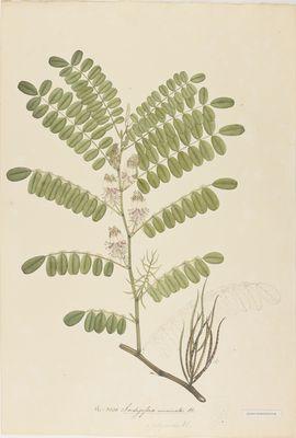 Indigofera uncinata R., watercolour on paper