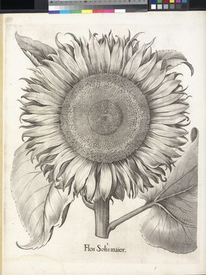 Flos Solis maior (large sunflower), Basilius Besler