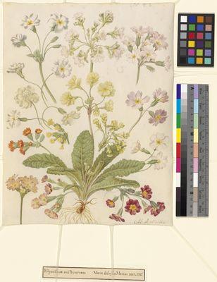 Polyanthus and Primroses, watercolour on vellum