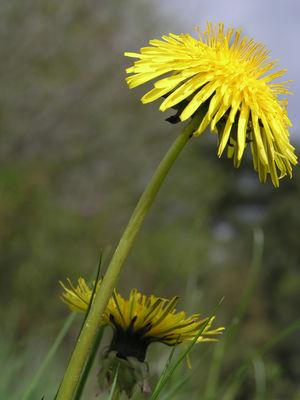 Taraxacum officinale (L.) Weber ex F.H.Wigg.