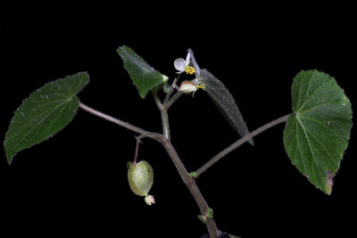 Begonia wallichiana