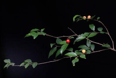 Xylosma characantha