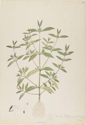 Phlomis esculenta Roxb., watercolour on paper
