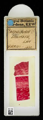 A specimen from Kew's microscope slide collection - whole slide. Image ref: KMIC001152_2018.07.19_preview