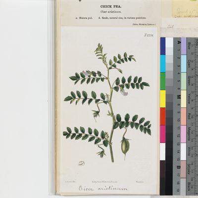 Cicer arietinum published illustration from Curtis's Botanical Magazine
