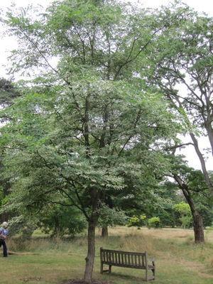 Gymnocladus dioicus 'Variegatus'