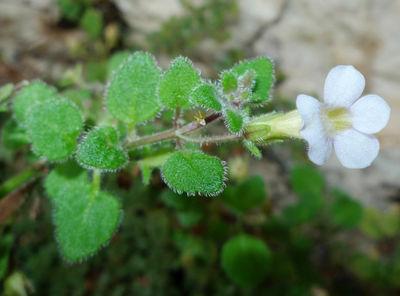 Stemodia microphylla J.A.Schmidt