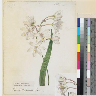 Tritonia rochensis Ker Gawl. original illustration from Curtis's Botanical Magazine