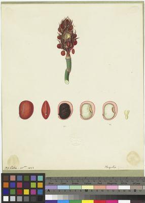 Magnolia seeds, J. G. Pretre