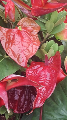 Anthurium andraeanum 'Avanti Red'