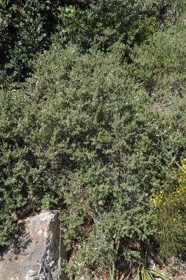 Teucrium brevifolium