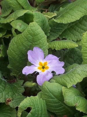 Primula heterochroma