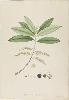Elaeocarpus ganitrus R., watercolour on paper