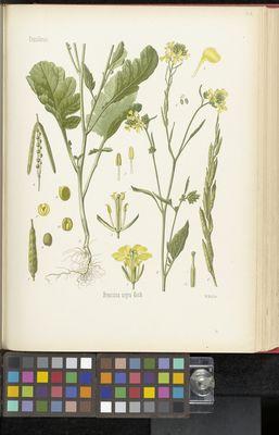 Brassica nigra, Köhler